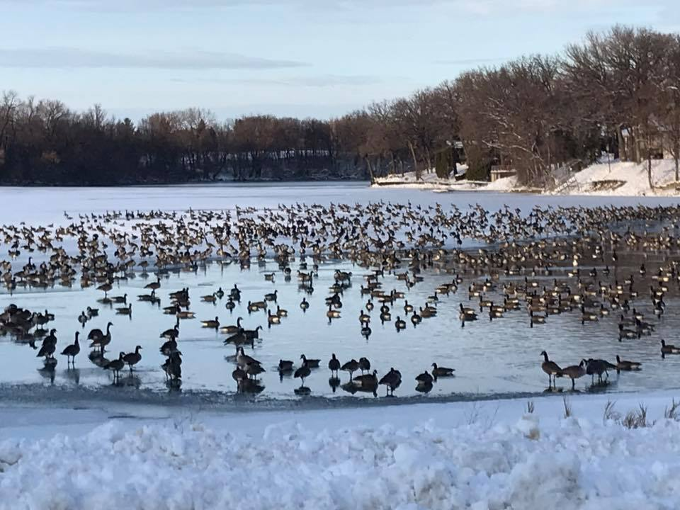 Geese on Hall Lake in December surrounded by ice